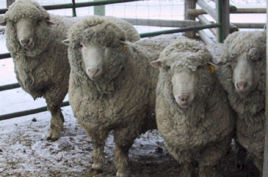 Targee Merino rams: Fed, Bill, Aram, and Zip